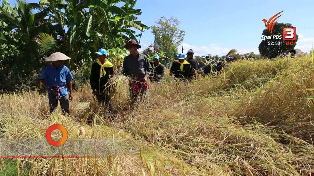 """ที่นี่ Thai PBS - นักข่าวพลเมือง : ลงแขกเกี่ยวข้าว """"นาดำกล้าต้นเดียว"""" อ.รัตนบุรี จ.สุรินทร์"""