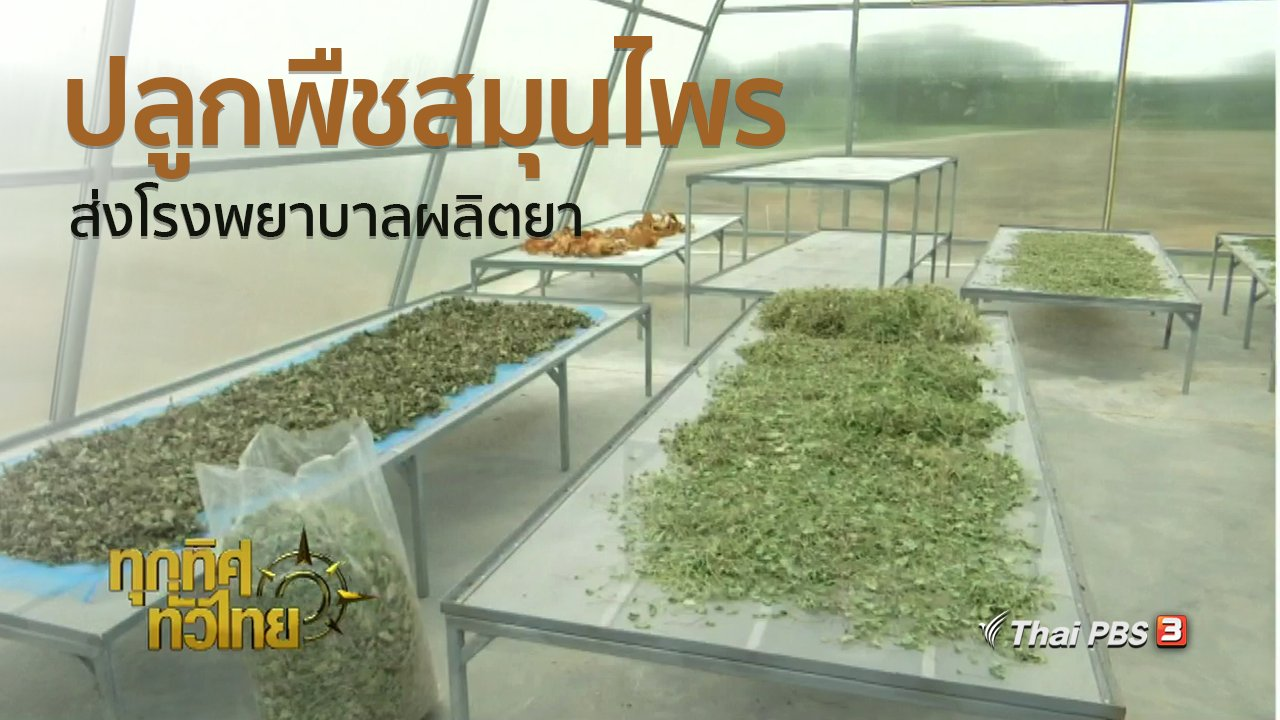 ทุกทิศทั่วไทย - ชุมชนทั่วไทย : ปลูกพืชสมุนไพรส่งโรงพยาบาลอู่ทองผลิตยา