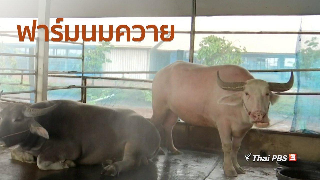 ทุกทิศทั่วไทย - อาชีพทั่วไทย : ฟาร์มนมควาย