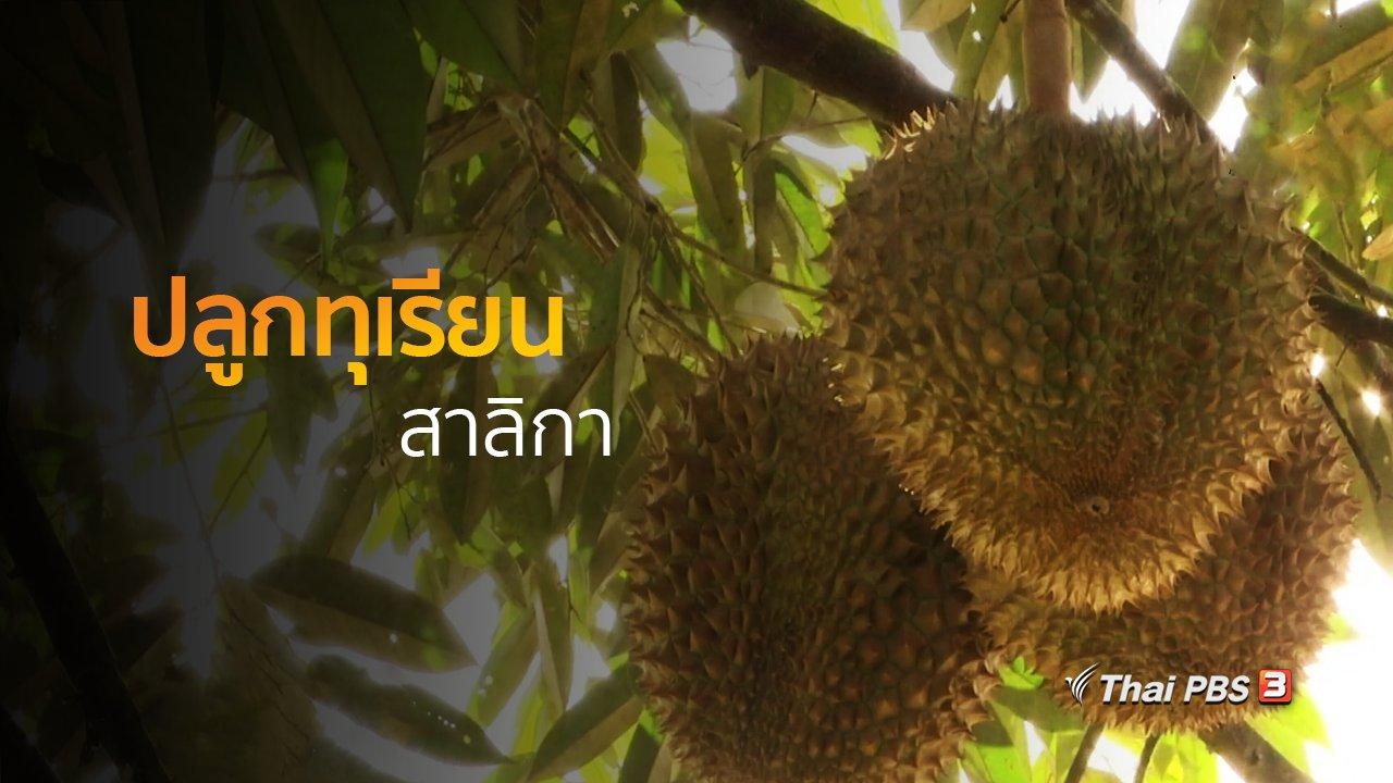 ทุกทิศทั่วไทย - อาชีพทั่วไทย : ปลูกทุเรียนสาลิกา