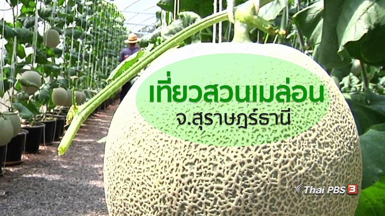ทุกทิศทั่วไทย - อาชีพทั่วไทย : เที่ยวสวนเมล่อนที่สุราษฎร์ธานี
