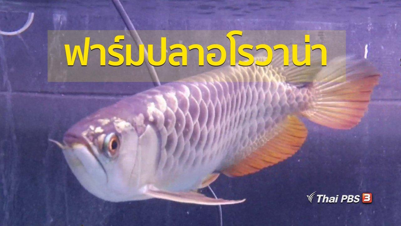 ทุกทิศทั่วไทย - อาชีพทั่วไทย : ชมฟาร์มเพาะเลี้ยงปลาอโรวาน่า