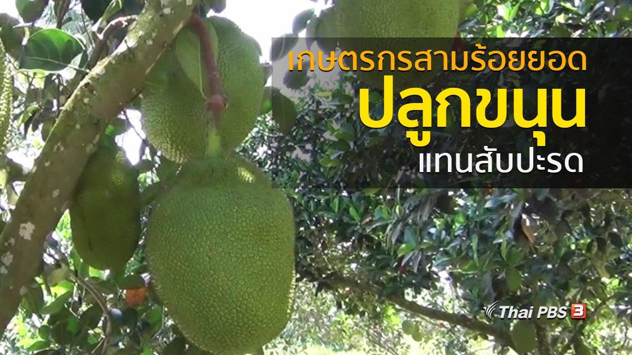 ทุกทิศทั่วไทย - ชุมชนทั่วไทย : เกษตรกรสามร้อยยอดปลูกขนุนแทนสับปะรด