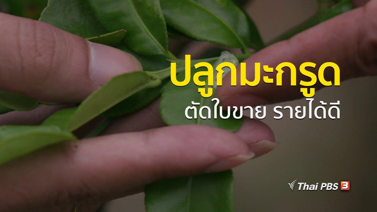 ทุกทิศทั่วไทย - อาชีพทั่วไทย : เกษตรกรกาญจนบุรีปลูกมะกรูดตัดใบขายสร้างรายได้ดี