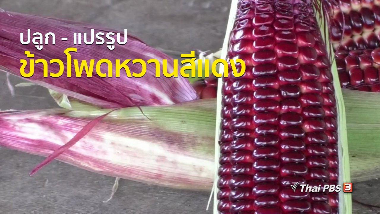 ทุกทิศทั่วไทย - อาชีพทั่วไทย : ปลูก - แปรรูปข้าวโพดหวานสีแดง