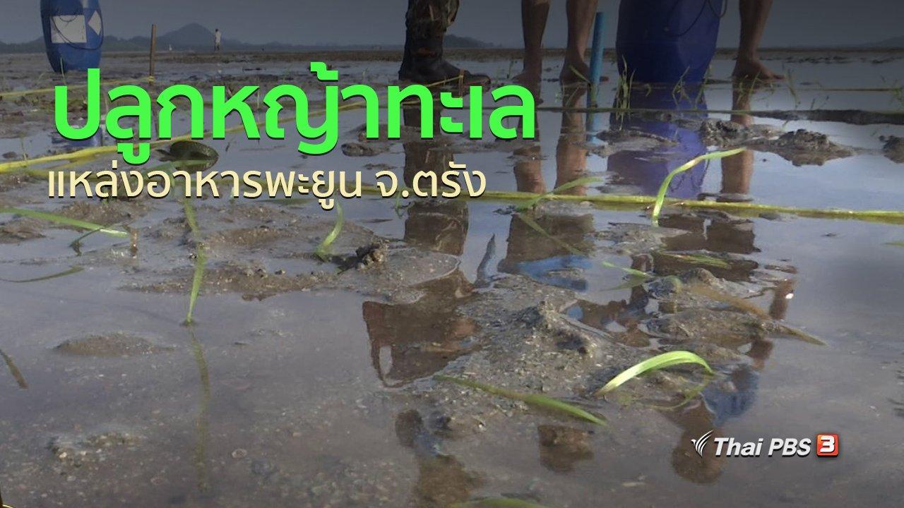 ทุกทิศทั่วไทย - ชุมชนทั่วไทย : ปลูกหญ้าทะเล แหล่งอาหารพะยูน จ.ตรัง