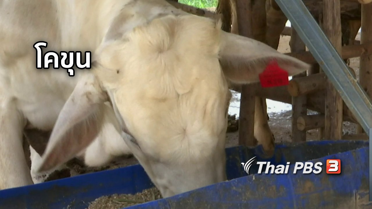 จับตาสถานการณ์ - ตะลุยทั่วไทย : โคขุน