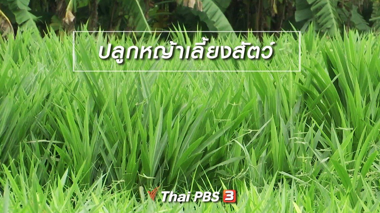 จับตาสถานการณ์ - ตะลุยทั่วไทย : ปลูกหญ้าเลี้ยงสัตว์