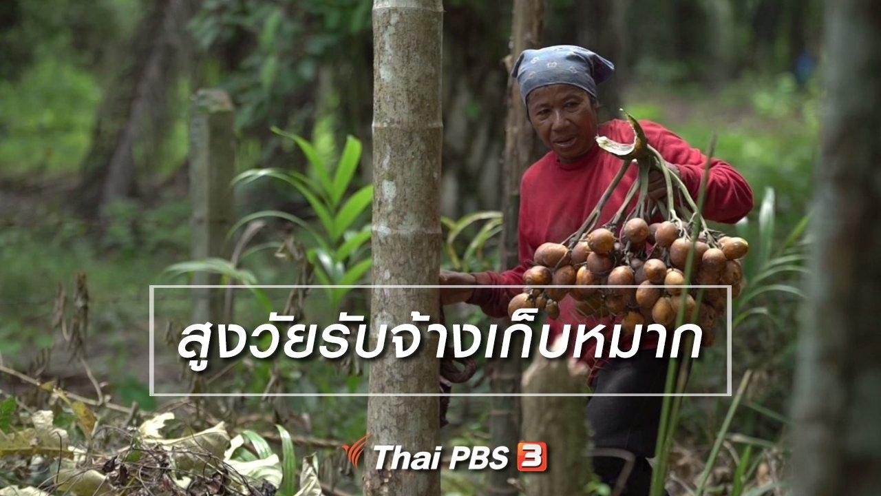 ลุยไม่รู้โรย สูงวัยดี๊ดี - สูงวัยไทยแลนด์ : สูงวัยรับจ้างเก็บหมาก