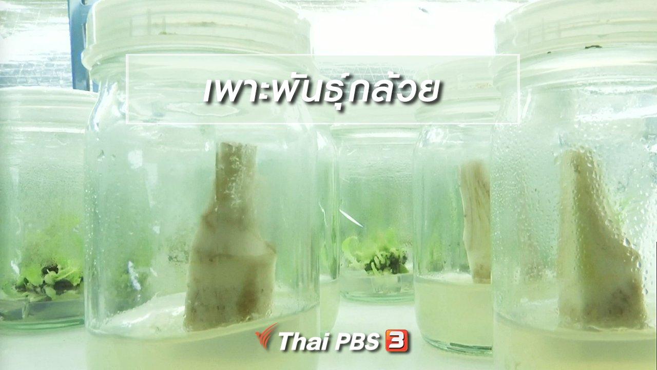 จับตาสถานการณ์ - ตะลุยทั่วไทย : เพาะพันธุ์กล้วย
