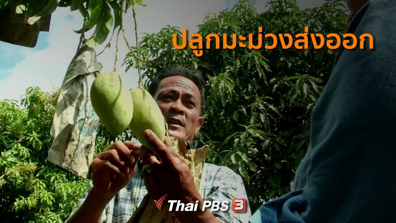 ทุกทิศทั่วไทย - อาชีพทั่วไทย : ปลูกมะม่วงส่งออก