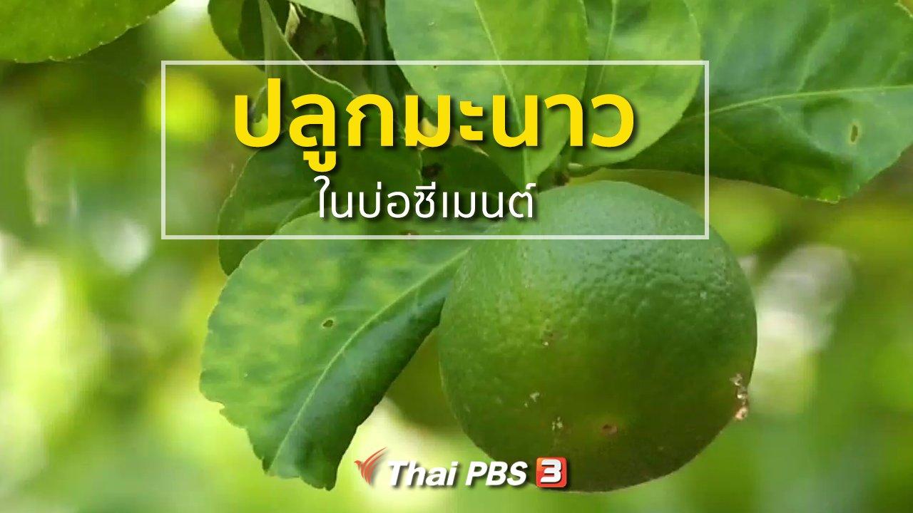 ทุกทิศทั่วไทย - อาชีพทั่วไทย : ปลูกมะนาวในบ่อซีเมนต์