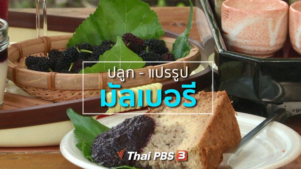 ทุกทิศทั่วไทย - อาชีพทั่วไทย : ปลูกมัลเบอรี