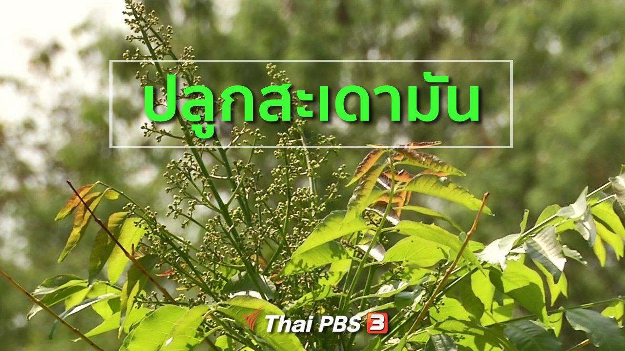 ทุกทิศทั่วไทย - อาชีพทั่วไทย : ปลูกสะเดามันทวายยอดแดง