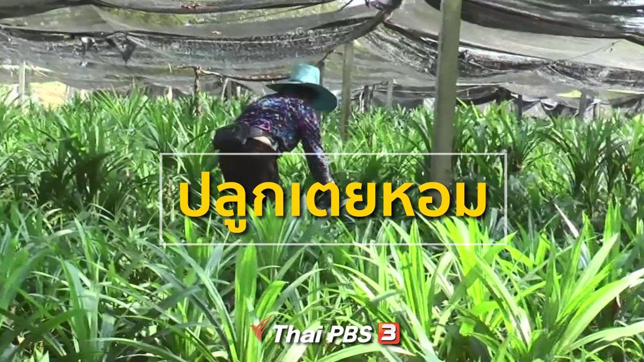 ทุกทิศทั่วไทย - อาชีพทั่วไทย : ชาวนาหันมาปลูกเตยหอมขาย
