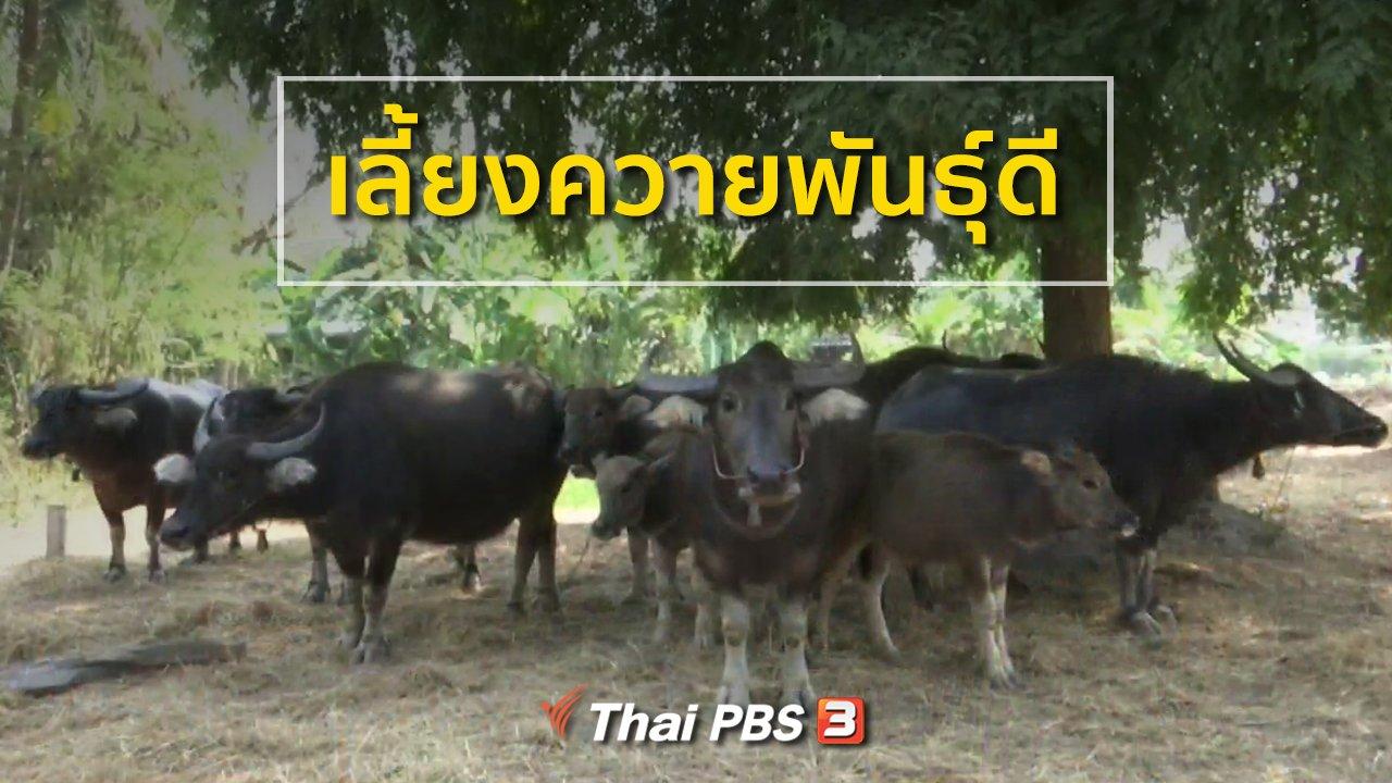 ทุกทิศทั่วไทย - ชุมชนทั่วไทย : เลี้ยงควายพันธุ์ดี
