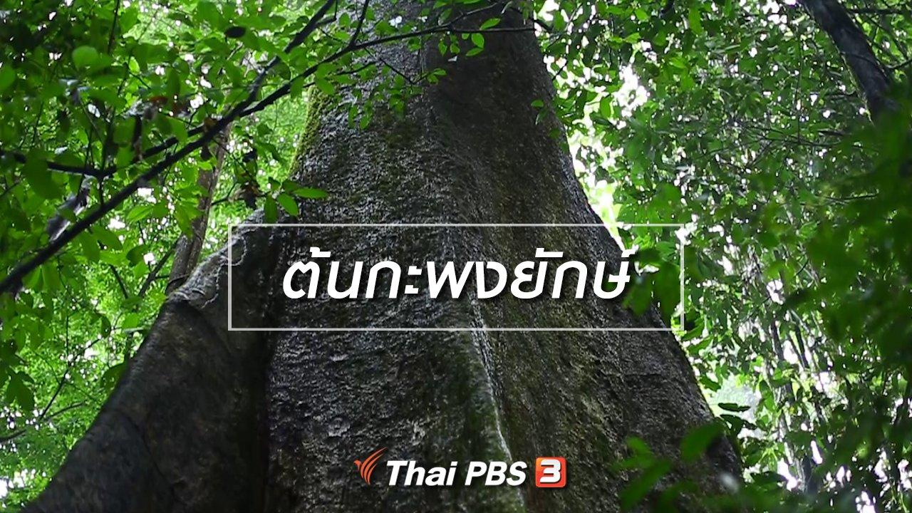 ทั่วถิ่นแดนไทย - เรียนรู้วิถีไทย : ต้นกะพงยักษ์