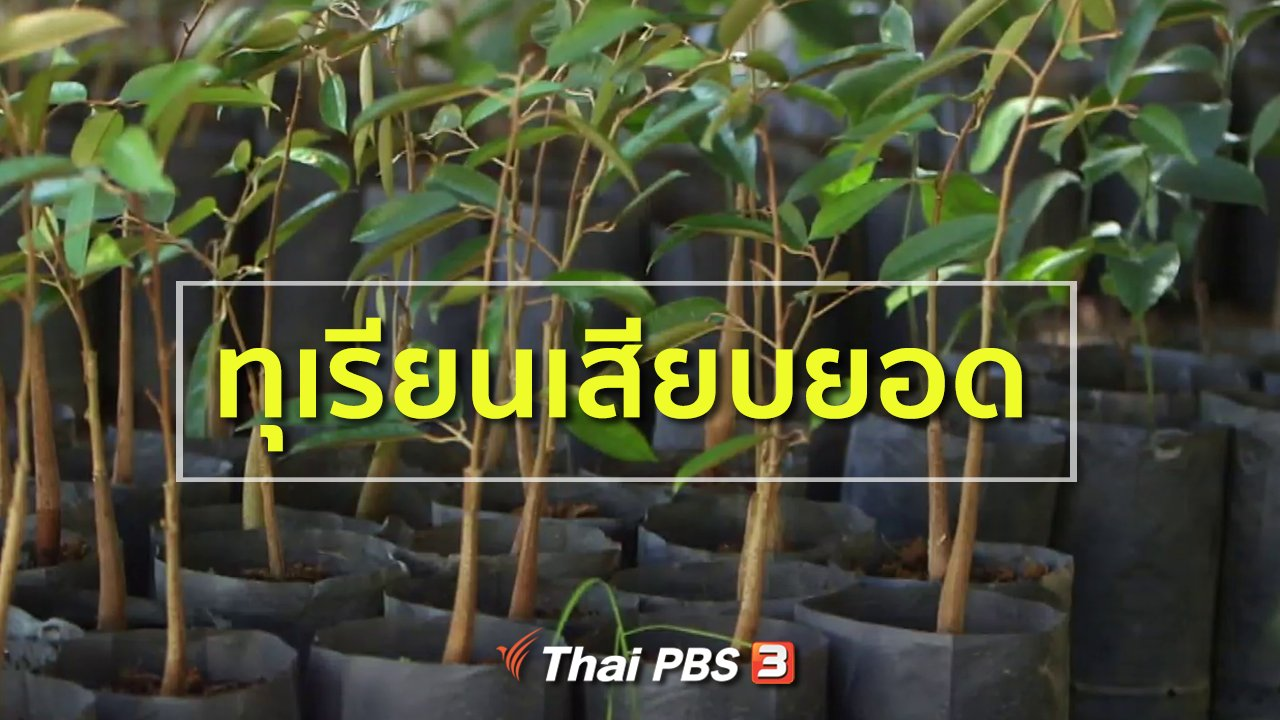 ทุกทิศทั่วไทย - อาชีพทั่วไทย : ทุเรียนเสียบยอด