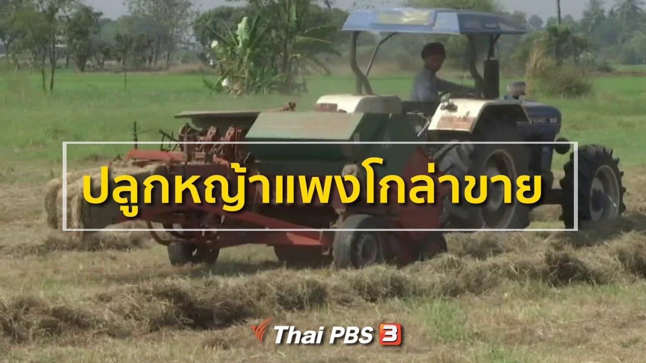 ทุกทิศทั่วไทย - ชุมชนทั่วไทย : ปลูกหญ้าแพงโกล่าขาย