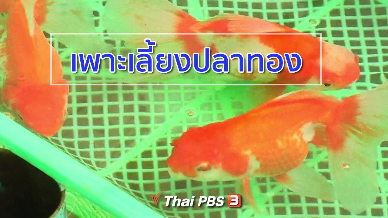 ทุกทิศทั่วไทย - อาชีพทั่วไทย : เพาะเลี้ยงปลาทอง