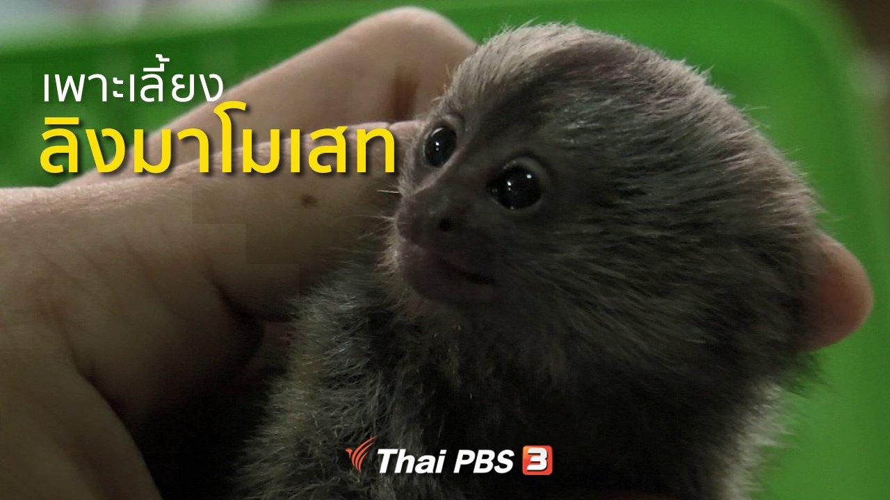 ทุกทิศทั่วไทย - อาชีพทั่วไทย : เพาะเลี้ยงลิงมาโมเสท