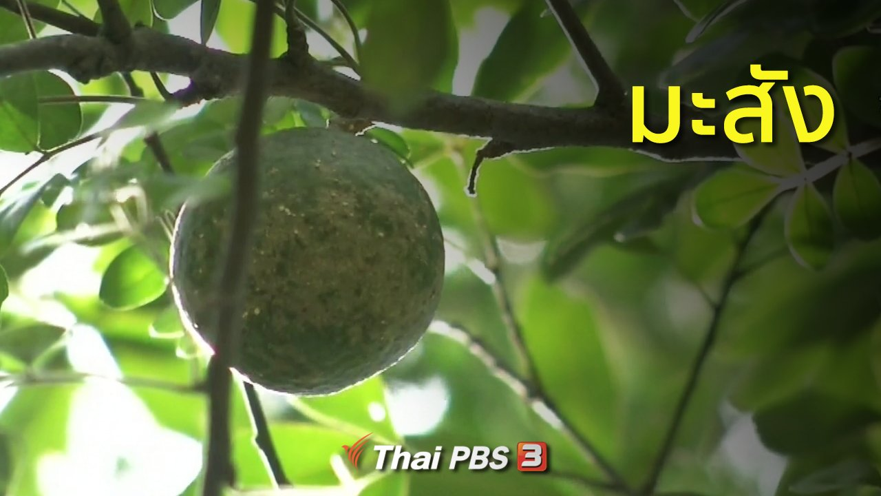 ทุกทิศทั่วไทย - วิถีทั่วไทย : มะสัง