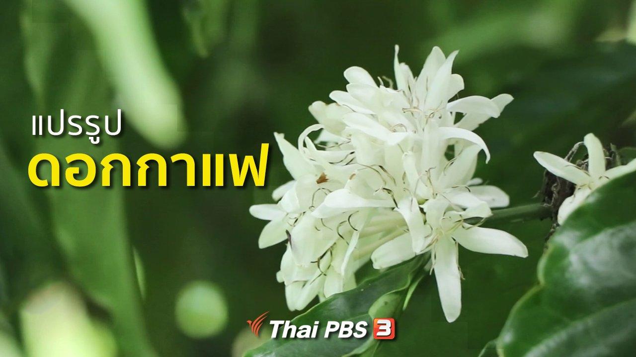 ทุกทิศทั่วไทย - วิถีทั่วไทย : แปรรูปดอกกาแฟ