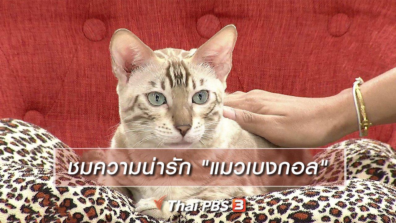 """นารีกระจ่าง - นารีสนทนา : ชมความน่ารัก """"แมวเบงกอล"""""""