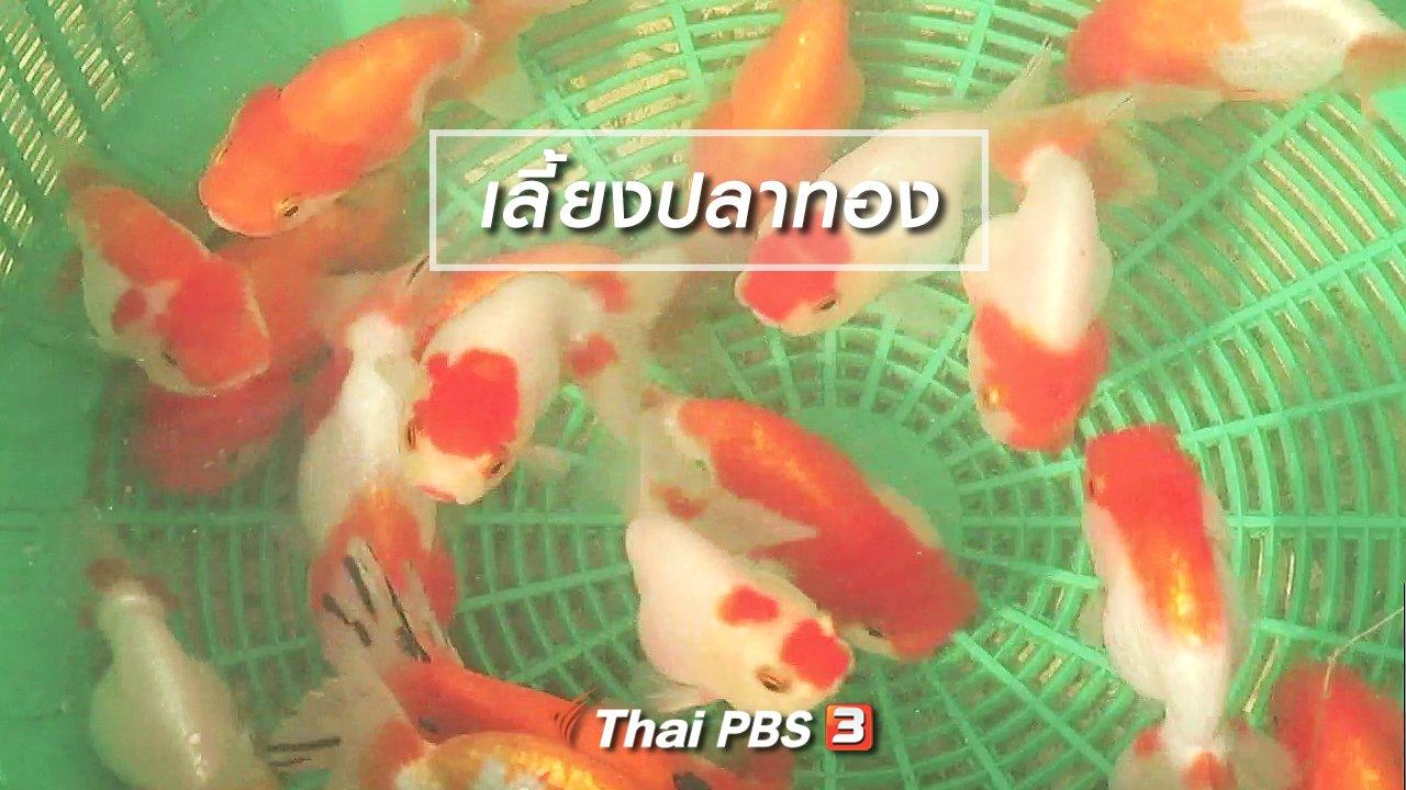 จับตาสถานการณ์ - ตะลุยทั่วไทย : เลี้ยงปลาทอง