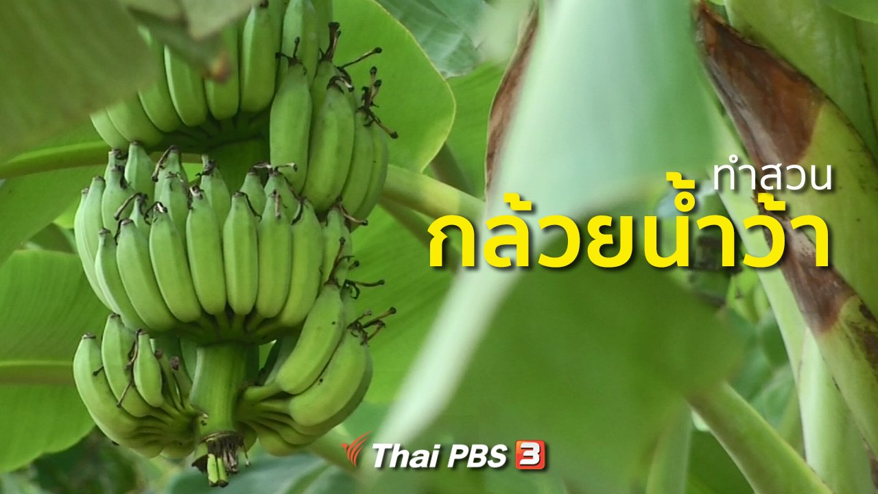 ทุกทิศทั่วไทย - อาชีพทั่วไทย : ทำสวนกล้วยน้ำว้า
