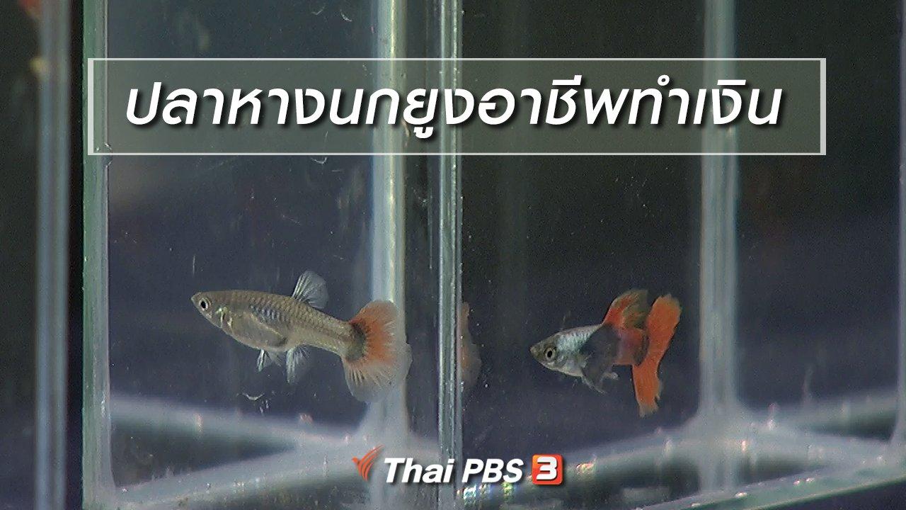 นารีกระจ่าง - นารีสนทนา : ปลาหางนกยูงอาชีพทำเงิน