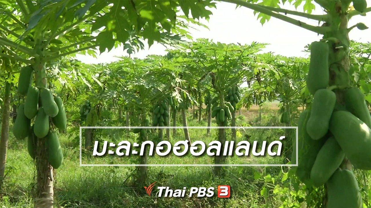จับตาสถานการณ์ - ตะลุยทั่วไทย :  มะละกอฮอลแลนด์