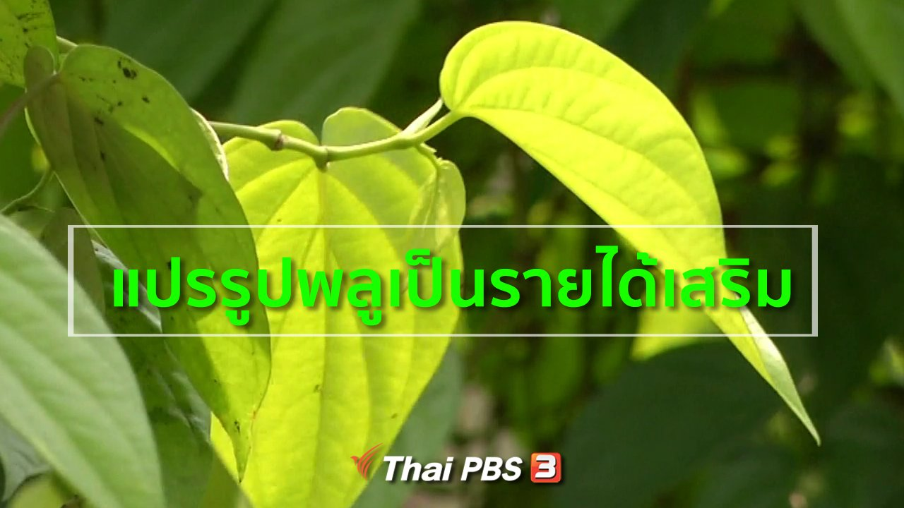 ทุกทิศทั่วไทย - อาชีพทั่วไทย : แปรรูปพลูเป็นรายได้เสริม