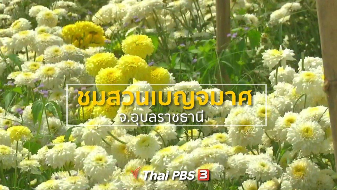 ทุกทิศทั่วไทย - ชุมชนทั่วไทย : ชมสวนเบญจมาศ จ.อุบลราชธานี