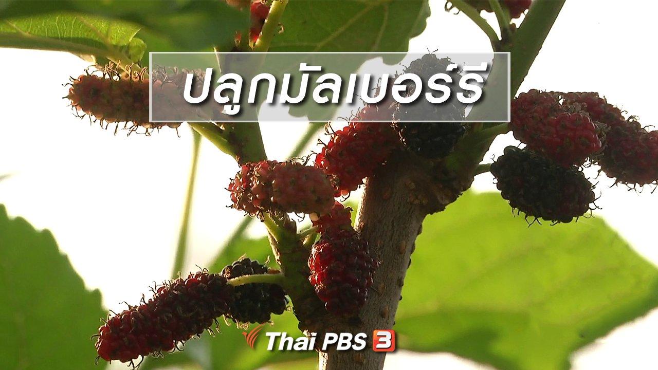 จับตาสถานการณ์ - ตะลุยทั่วไทย : ปลูกมัลเบอร์รี