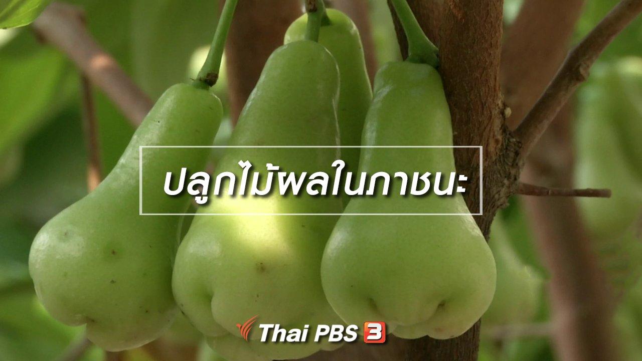 จับตาสถานการณ์ - ตะลุยทั่วไทย : ปลูกไม้ผลในภาชนะ
