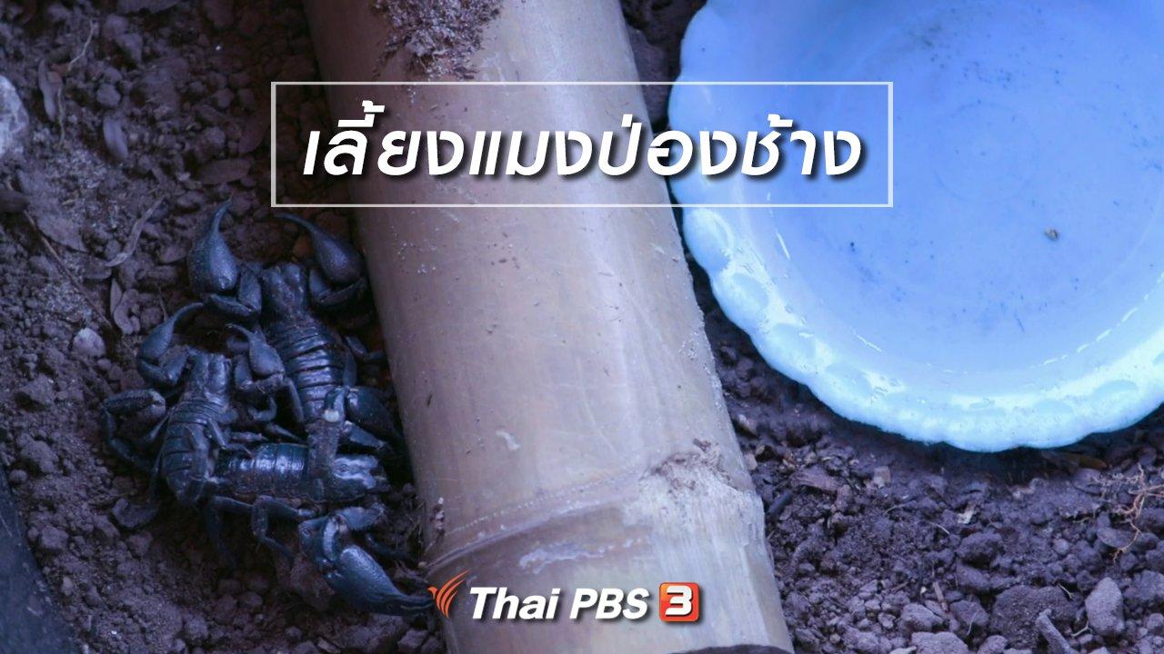 จับตาสถานการณ์ - ตะลุยทั่วไทย : เลี้ยงแมงป่องช้าง