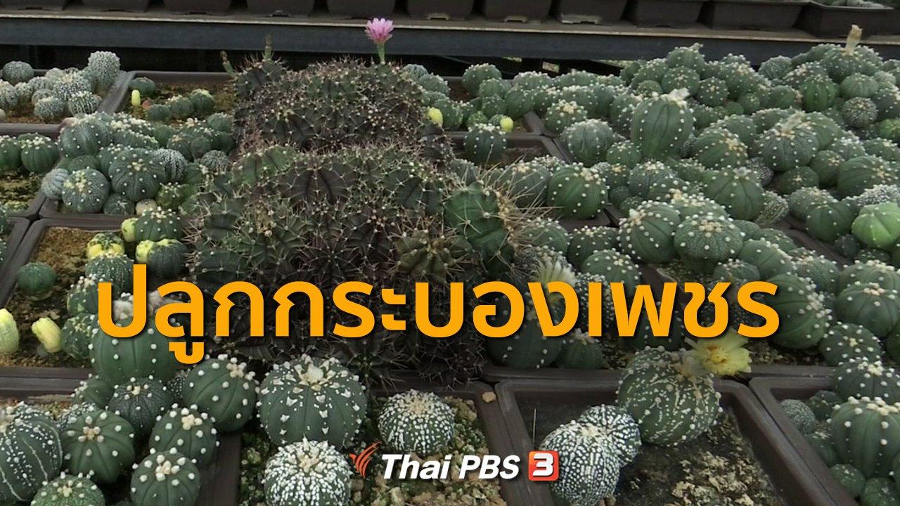 ทุกทิศทั่วไทย - อาชีพทั่วไทย  : ปลูกกระบองเพชร