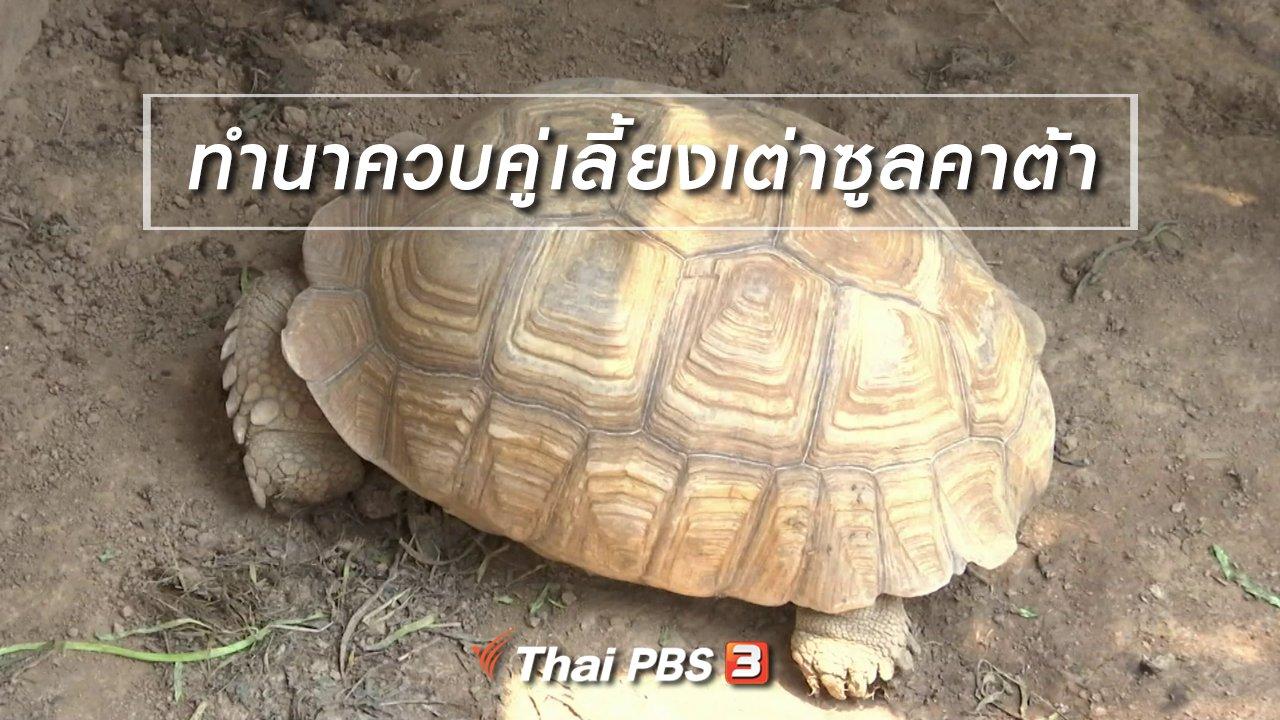 จับตาสถานการณ์ - ตะลุยทั่วไทย : ทำนาควบคู่เลี้ยงเต่าซูลคาต้า