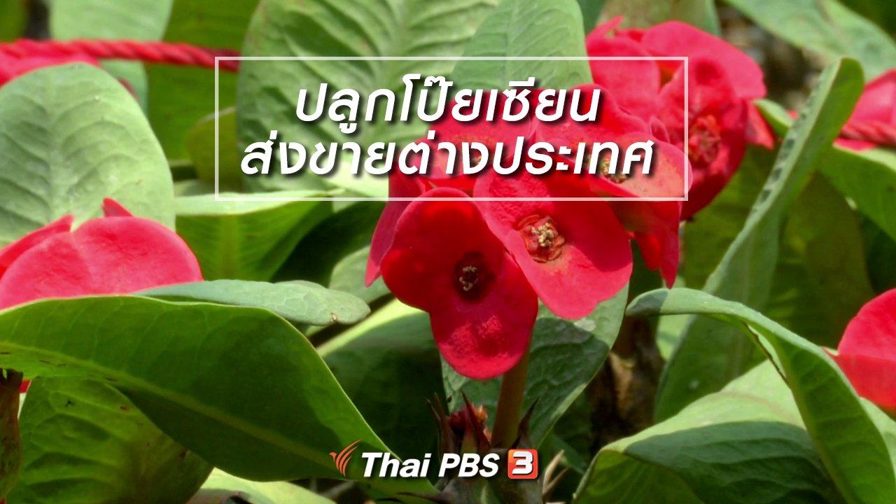 จับตาสถานการณ์ - ตะลุยทั่วไทย : ปลูกโป๊ยเซียนส่งขายต่างประเทศ