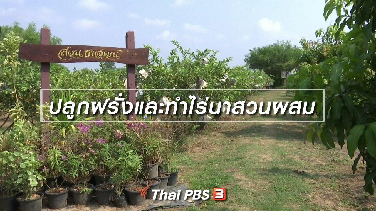 จับตาสถานการณ์ - ตะลุยทั่วไทย : ปลูกฝรั่งและทำไร่นาสวนผสม