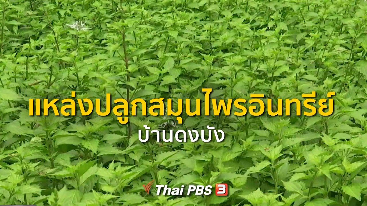 ทุกทิศทั่วไทย - ชุมชนทั่วไทย : แหล่งปลูกสมุนไพรอินทรีย์ที่บ้านดงบัง