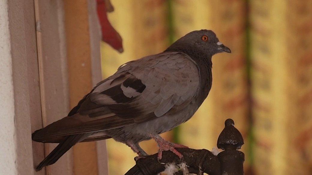 สัตว์ป่วนเมือง - แนวทางจัดการนกพิราบของธุรกิจไล่นก