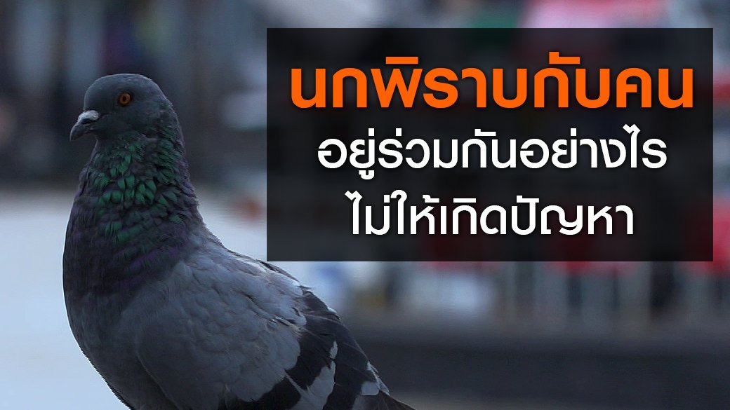 สัตว์ป่วนเมือง - นกพิราบกับคน...อยู่ร่วมกันอย่างไร ไม่ให้เกิดปัญหา