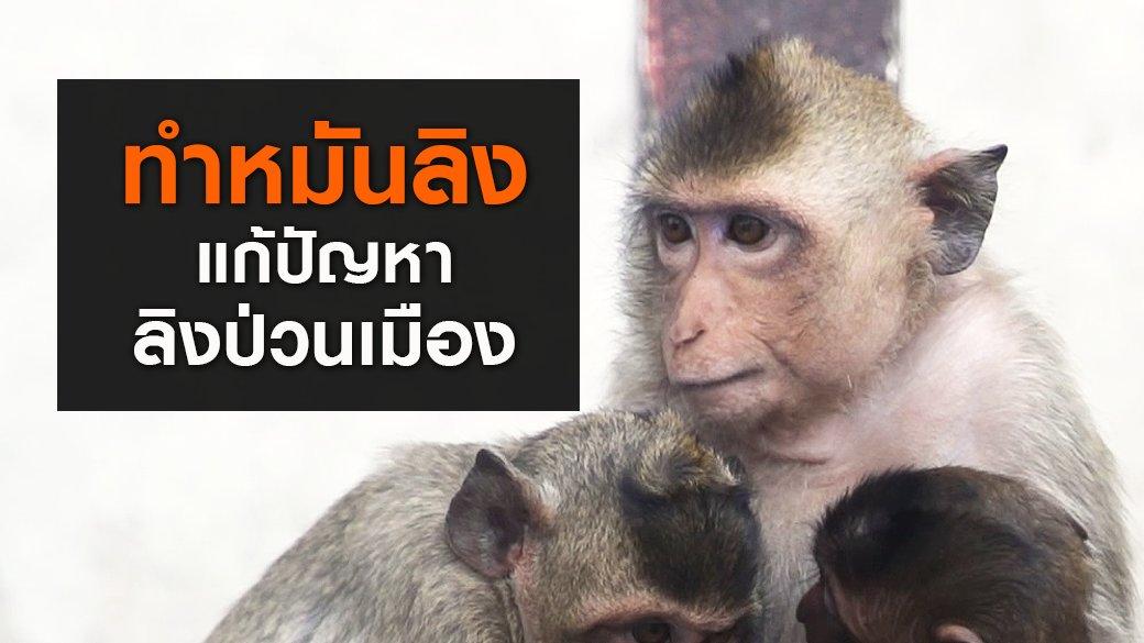"""สัตว์ป่วนเมือง - """"ทำหมันลิง"""" แก้ปัญหาลิงป่วนเมือง"""