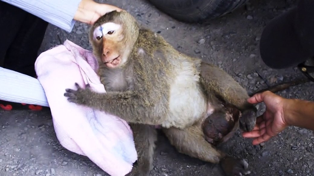 สัตว์ป่วนเมือง - ที่พึ่งพิงของลิงป่วย ลิงพิการ