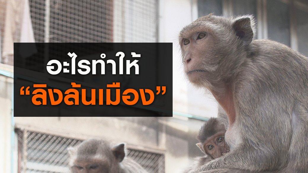 """สัตว์ป่วนเมือง - อะไรทำให้ """"ลิงล้นเมือง"""""""