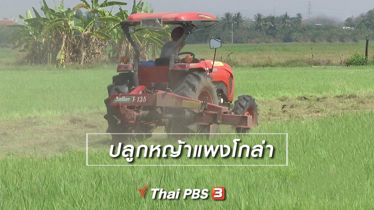 จับตาสถานการณ์ - ตะลุยทั่วไทย : ปลูกหญ้าแพงโกล่า