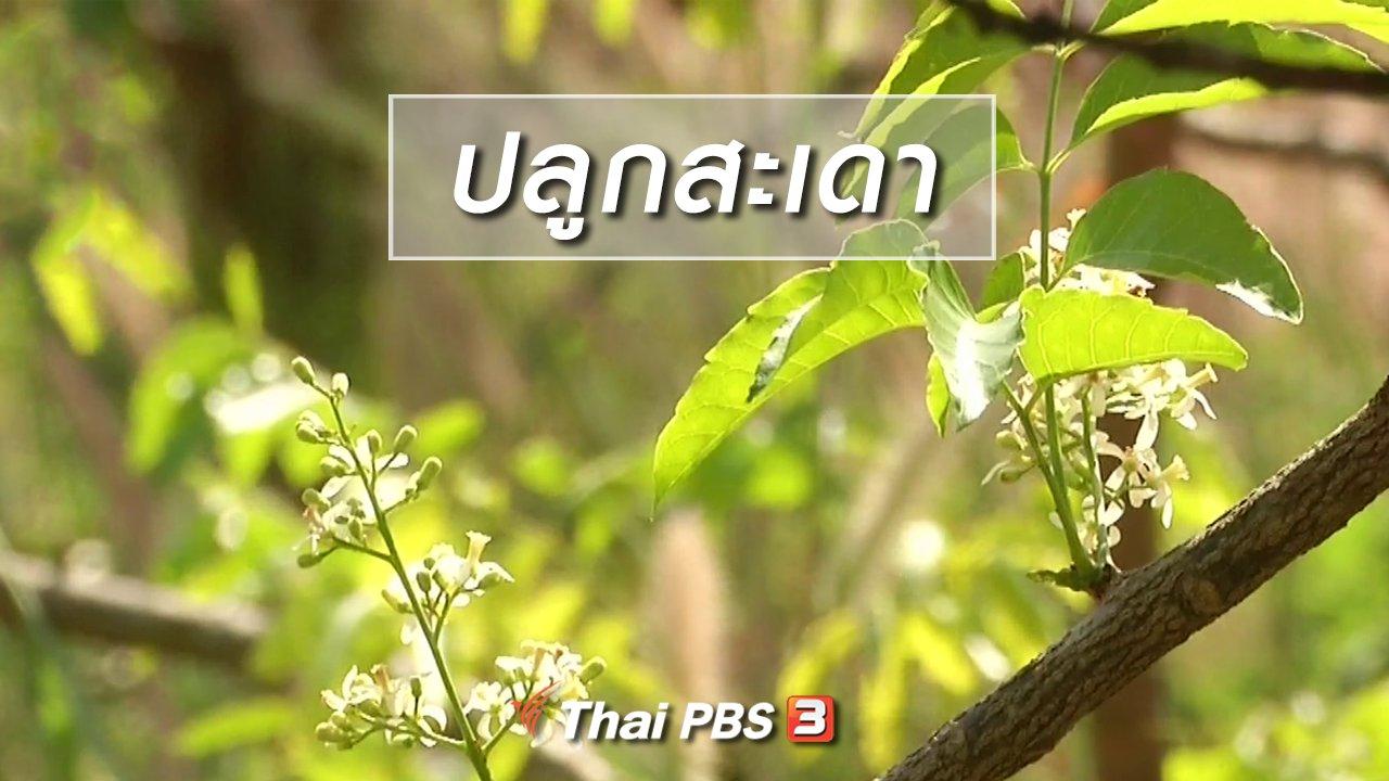 จับตาสถานการณ์ - ตะลุยทั่วไทย : ปลูกสะเดา