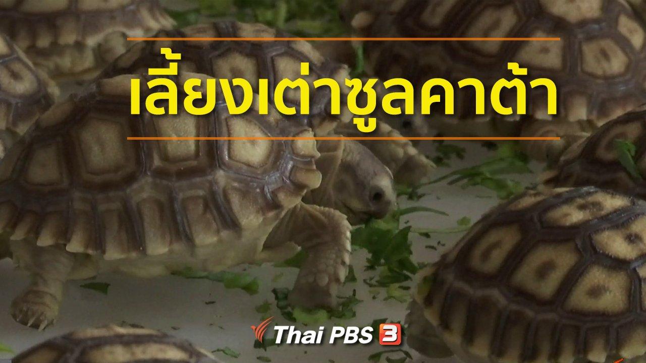 ทุกทิศทั่วไทย - ชุมชนทั่วไทย : เลี้ยงเต่าซูลคาต้า